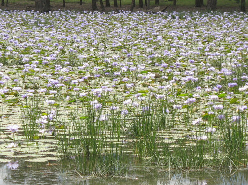 Water lilies, Nymphaea gigantea a