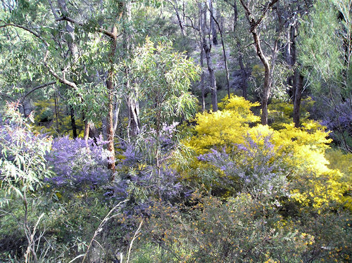 Wattle and Hovea near Isla Gorge